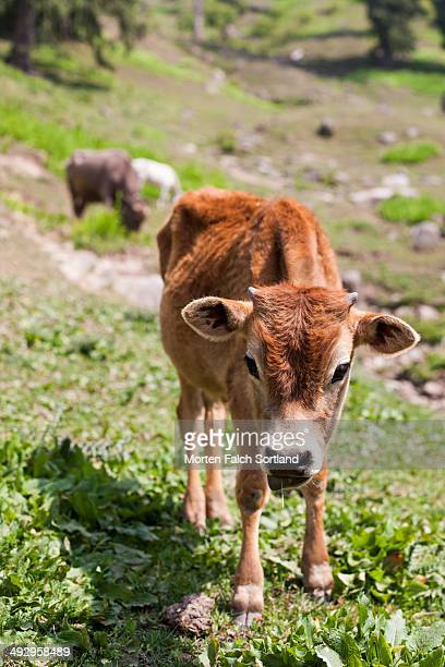 Himalaya Cow