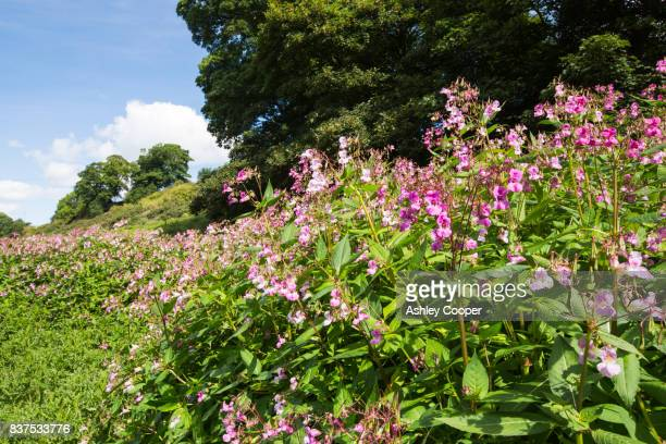 himalayan balsam, a highly invasive, alien plant growing on the banks of the river tees near barnard castle, county durham, uk. - barnard castle stock pictures, royalty-free photos & images