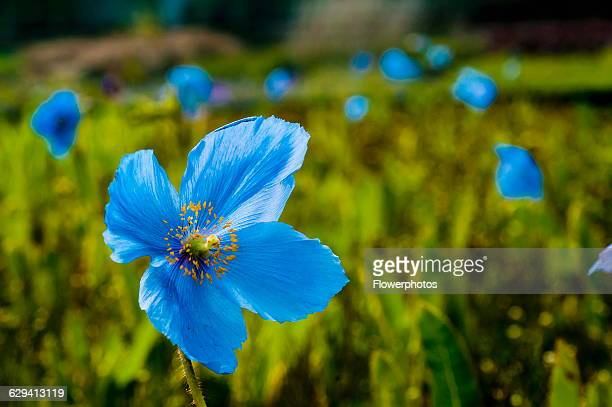 Himalayan Blue Poppy Stock Photos And Pictures