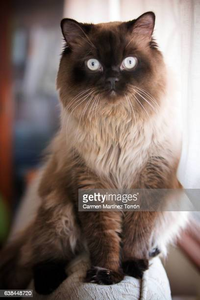Himalayan cat. Longhair Cat (Felis catus), front view