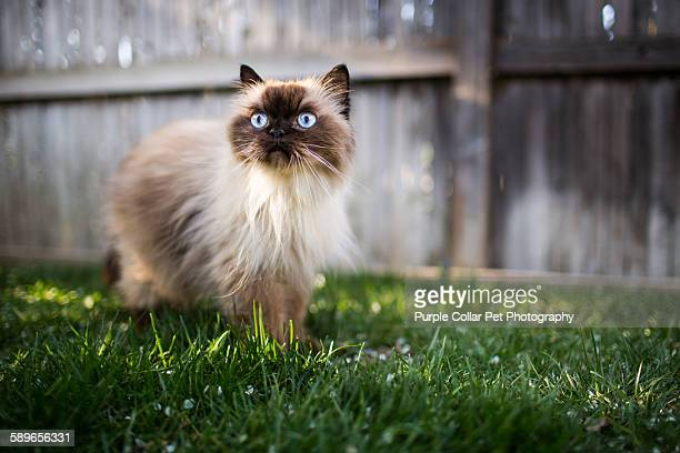 Himalayan cat outdoors