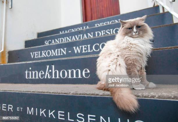 Himalayan cat outside on steps in Reykjavik, Iceland