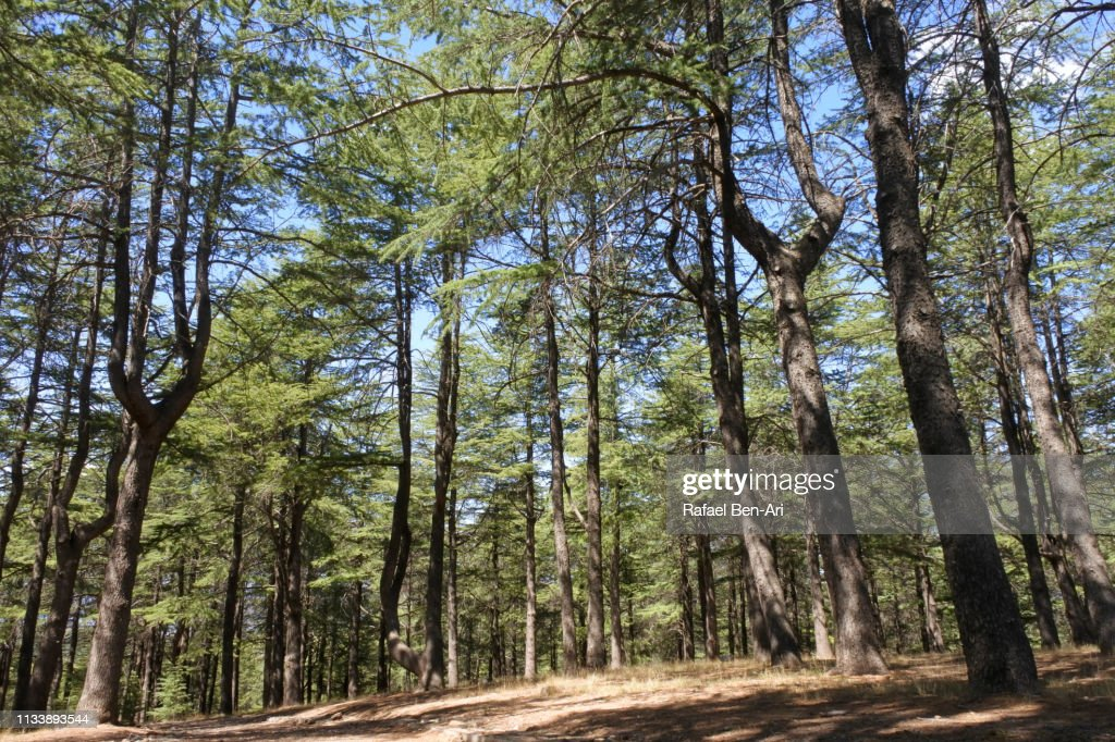 Himalayan Cedars trees forest near Canberra : Stock Photo