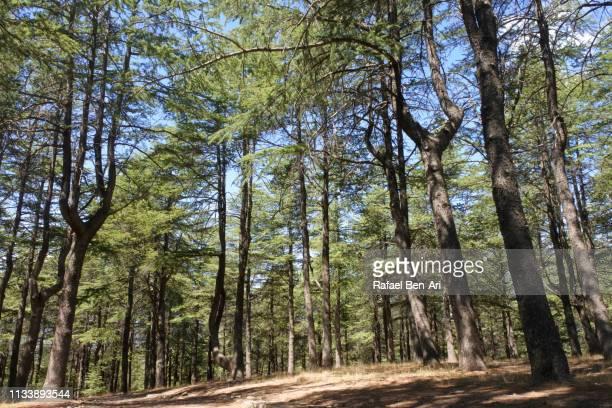 himalayan cedars trees forest near canberra - rafael ben ari stock-fotos und bilder