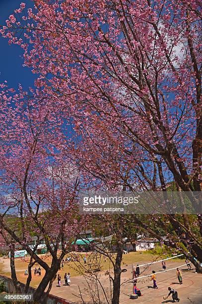 CONTENT] Himalayan Cherry blooming at Doi Angkhang Thailand