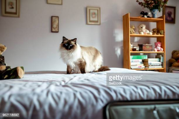 himalayan house cat - territory stock pictures, royalty-free photos & images