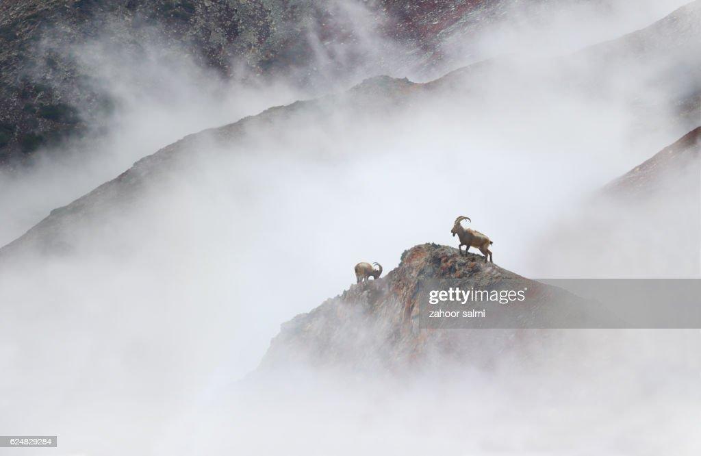 Himalayan Ibex : Stock Photo