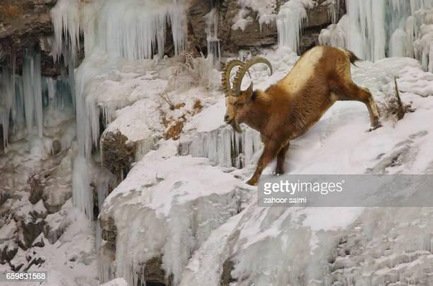 himalayan ibex - ibex stock photos and pictures