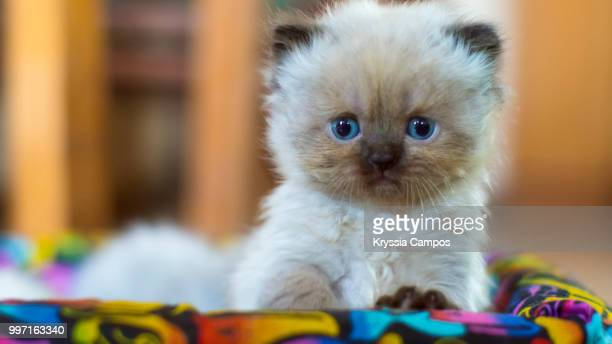 Himalayan Kitten (four weeks old)