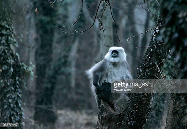 Himalayan langur rests on a tree in Dachigam national park on January 4 2010 on the outskirts in Srinagar India The wildlife population of Kashmir...