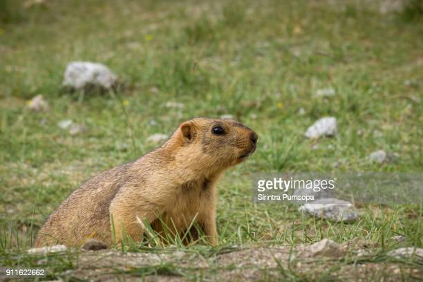 himalayan marmot in green field in leh, ladakh, india - funny groundhog stock pictures, royalty-free photos & images