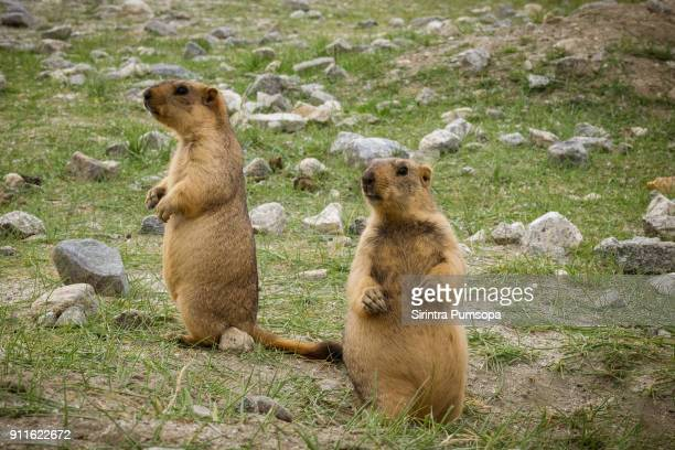 himalayan marmot in green field in leh, ladakh, india - funny groundhog stock photos and pictures