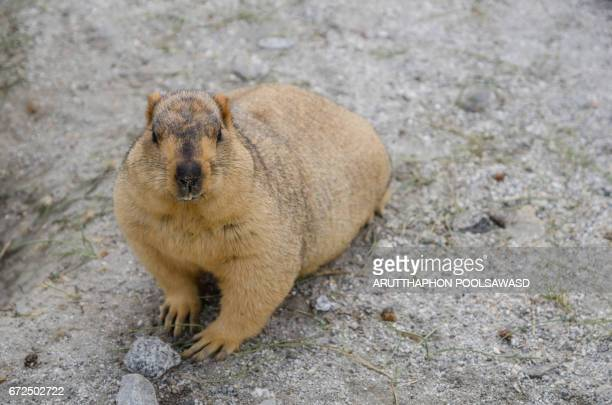 himalayan marmot , ladakh , india - funny groundhog stock photos and pictures