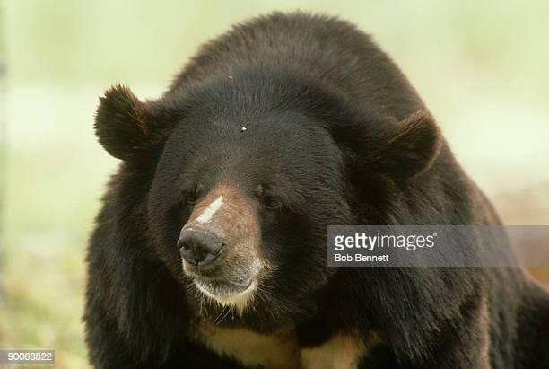 himalayan or asian black bear, ursus thibetanus, asia