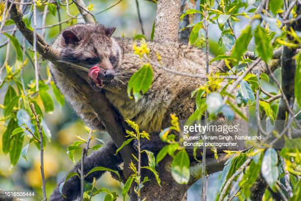 a himalayan palm civet resting on a tree - civet cat stock photos and pictures