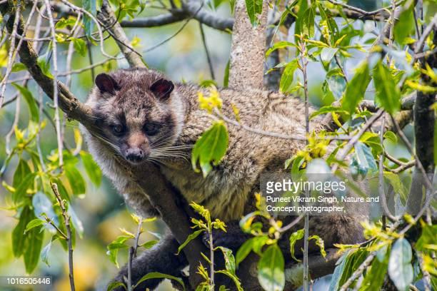 a himalayan palm civet resting on a tree - bassarisco foto e immagini stock