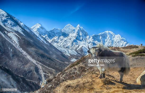 himalayan yak and snow mountains - yak stock pictures, royalty-free photos & images