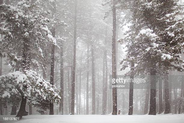 himalayas pine forest in snowfall - deciduous tree stock pictures, royalty-free photos & images