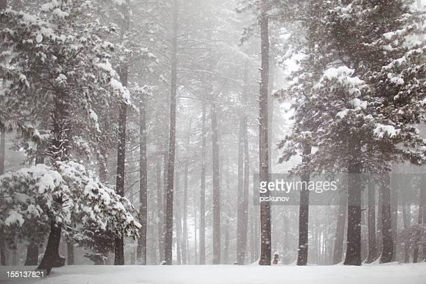 himalayas bosque de pinos de nevadas - árbol de hoja caduca fotografías e imágenes de stock