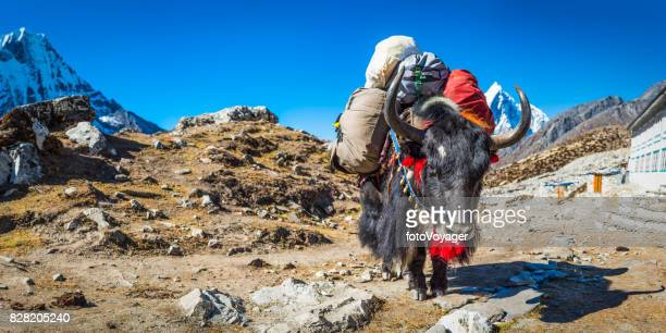 Himalayas traditional Sherpa yak carrying expedition gear mountain trail Nepal