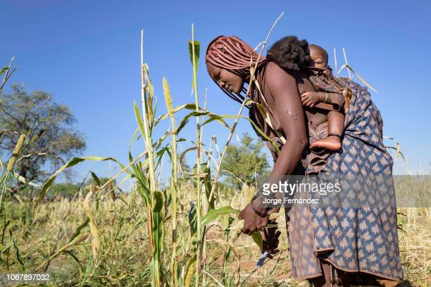 Himba woman harvesting millet with her child on her back