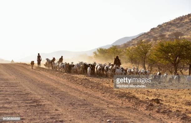 Himbas, goatherds drive herds of goats along a main road, Kaokoveld, Namibia