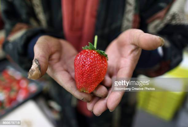 himebijin branded luxury strawberry harvesting - harvesting of himebijin luxury strawberries stock pictures, royalty-free photos & images