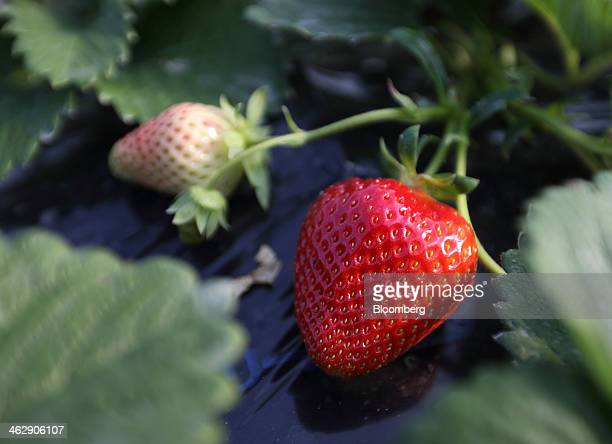 Himebijin strawberries grow in a greenhouse at Okuda Farm in Hashima, Gifu Prefecture, Japan, on Tuesday, Jan. 14, 2013. The farm this month began...