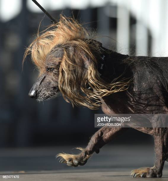 Himisaboo a Chinese Crested Wiener Dog mix walks on stage during The World's Ugliest Dog Competition in Petaluma California on June 23 2018 Zsa Zsa...