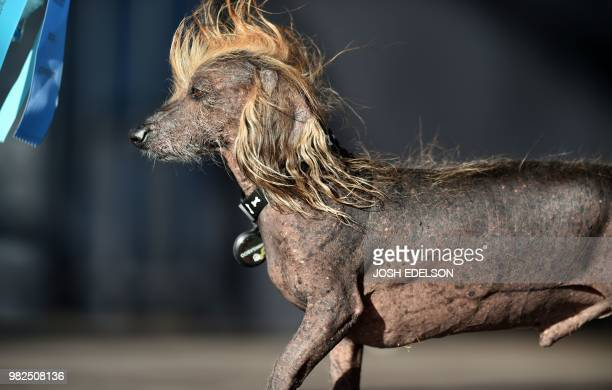 Himisaboo a Chinese Crested Wiener mix walks on stage during The World's Ugliest Dog Competition in Petaluma north of San Francisco California on...