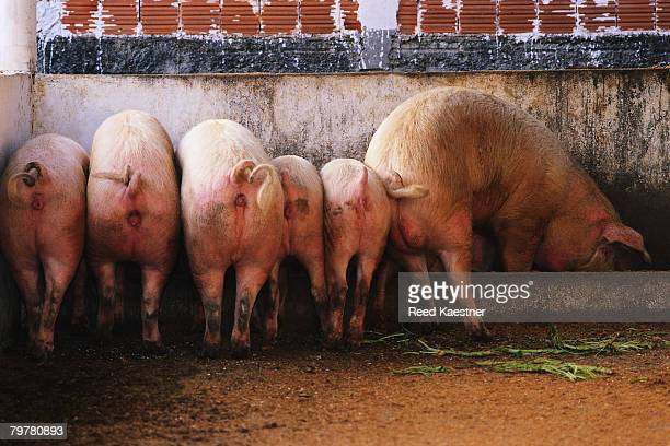 hind ends of pigs at a trough - pigs trough stock pictures, royalty-free photos & images