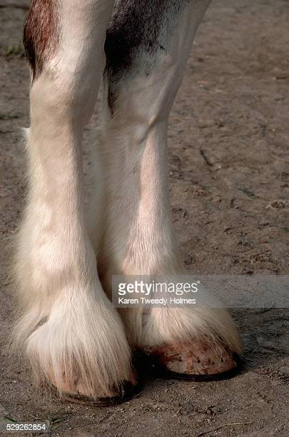 Hind Legs of Clydesdale