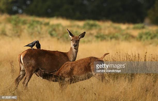 A hind Red Deer (Cervus elaphus) feeding her baby being watched by Jackdaw birds.