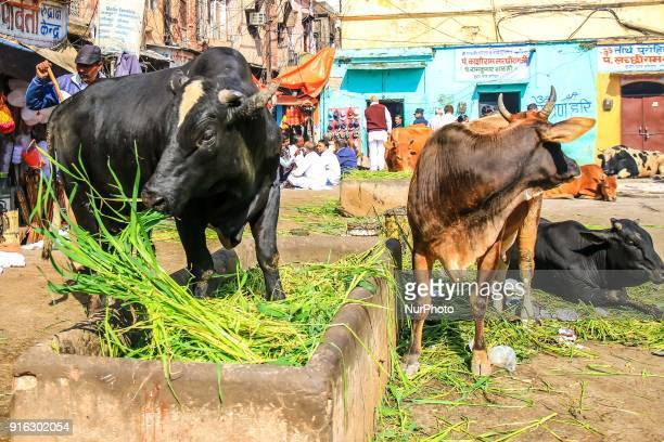 Hindu community people feed cows at Khushwa Ghat in Haridwar Uttrakhand India on 8th Feb 2018 Haridwar is a major attraction for the pilgrims around...