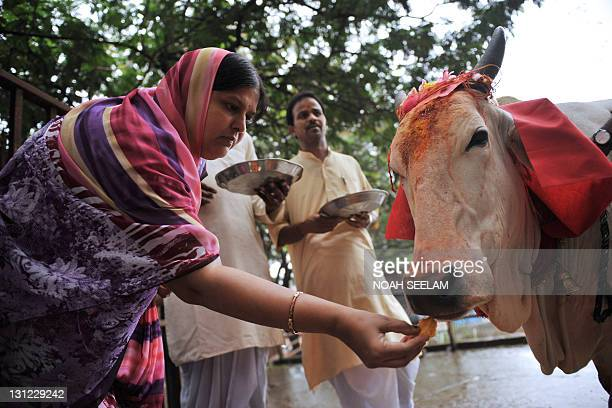 A Hindu devotee makes an offering of food to a sacred cow on the eve of Gopastami in Hyderabad on November 3 2011 The Gopastami festival which...