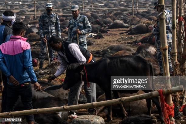 A Hindu devotee prepares the slaughter of a buffalo as an offering to Hindu goddess Gadhimai during the Gadhimai Festival in Bariyarpur 160 kms south...