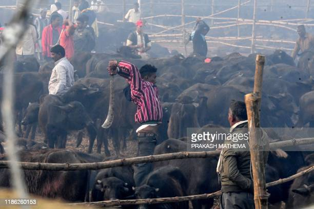 A Hindu devotee slaughters a buffalo as an offering to Hindu goddess Gadhimai during the Gadhimai Festival in Bariyarpur 160 kms south of the capital...