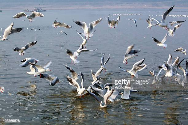 Hindu devotees feeds Siberian migratory birds in the river Ganga early in the morning.