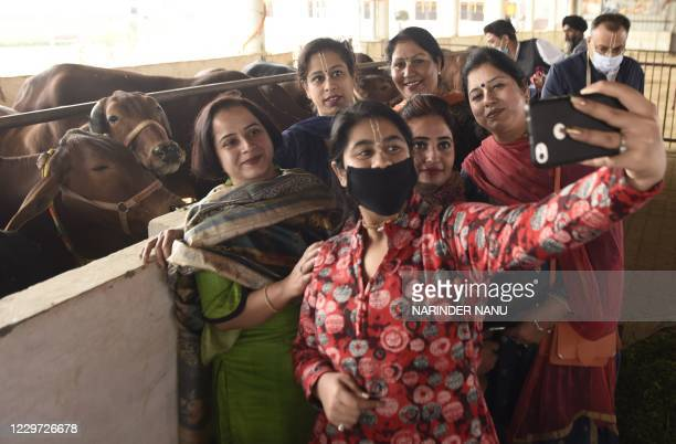 Hindu devotees from the International Society for Krishna Consciousness , take a selfie after worshipping cows during the Gopashtami festival that is...