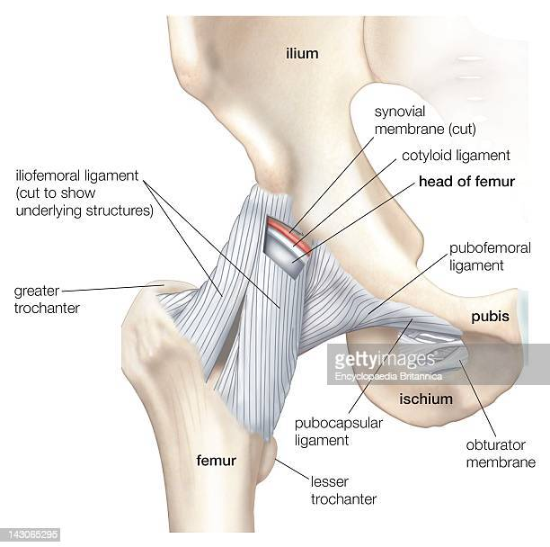 Iliofemoral Ligament Stock Photos and Pictures | Getty Images
