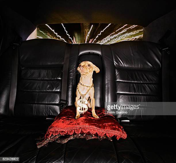 hip-hop dog riding in limo - bling bling stock pictures, royalty-free photos & images