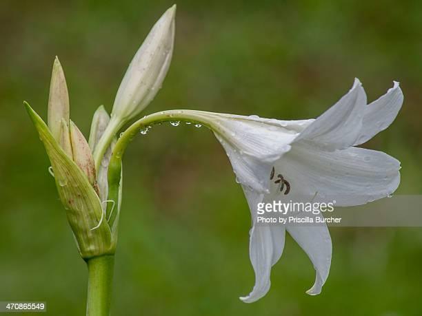 Hippeastrum argentinum (lily)