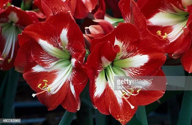 Hippeastrum Fortune Amaryllidaceae