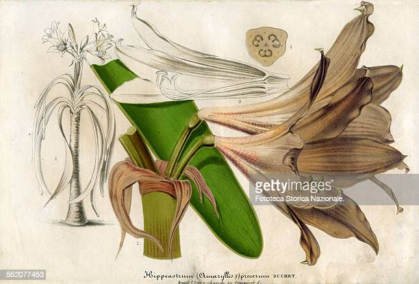Hippeastrum the Empress of Brazil Illustration by P Stroobant and lithograph by L Stroobant from Revue de l'Horticulture Belge et Etrangère Ghent 1867