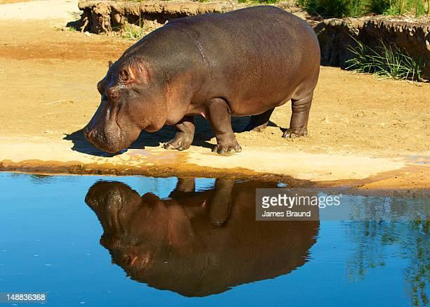 Hippo at Werribee Zoo.