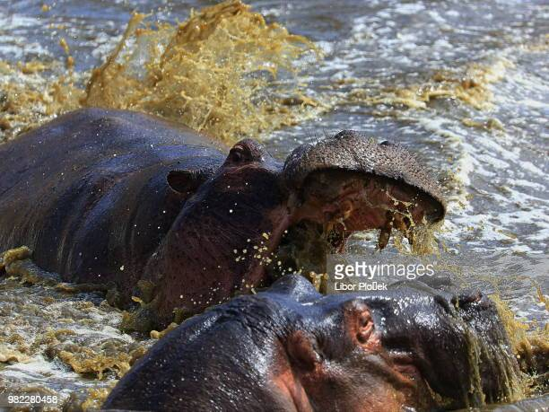 58 Hippopotamus Attack Pictures, Photos & Images - Getty Images