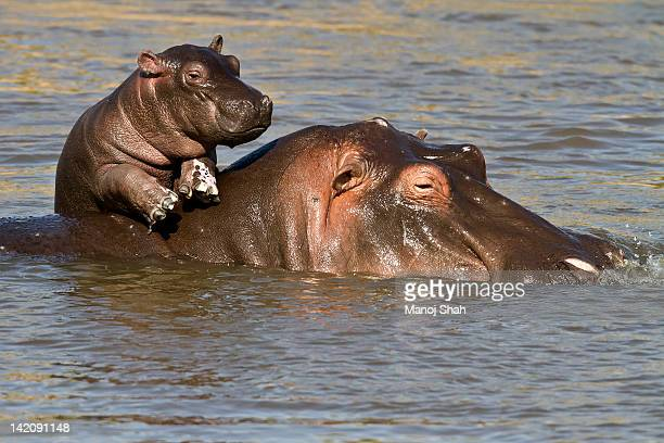 Hippo baby enjoying life on mum's back