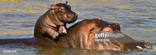 Hippo baby on mum