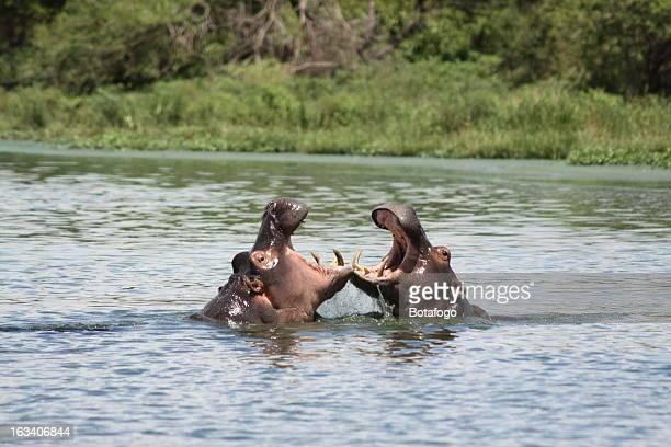 Hippo Battle. Kruger Park. South Africa.