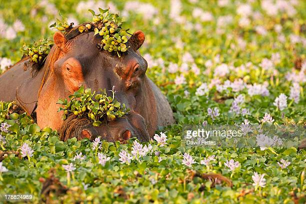 hippo covered in plants in waterhole, mana pools national park zimbabwe, africa - zimbabwe fotografías e imágenes de stock